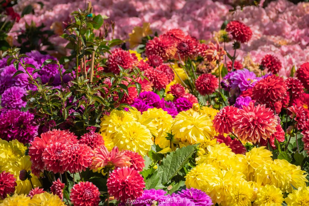 Bellissime dalie colorate al Merano Flower Festival